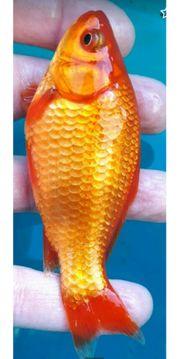Goldfische rot gelb-metallica weiß