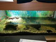 Wassrrschildkröten mit Aquarium Guppy und