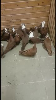 Irakische Tauben