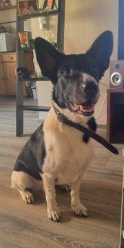 Wunderschöner Labrador Malinois Mix sucht