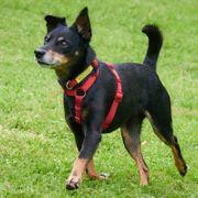 Ario 11 Jahre - Pinscher - Tierhilfe