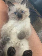 Ragdoll Kitten reinrassig mit Stammbaum