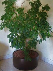 Dekorative Hydrokultur Zimmerpflanze Ficus Benjamin