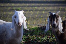 Ziege Ziegenbock Jungbock Anglo Nubier: Kleinanzeigen aus Jade Augusthausen - Rubrik Nutztiere