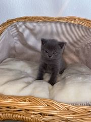 Reinrassiger Britisch Kurzhaar Kitten Blue