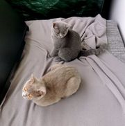 BKH Kitten Mäuschen