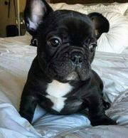 Französische Bulldogge Welpen Bully FrenchyHiermit