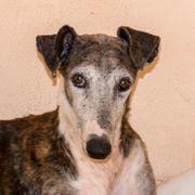 Galgo Espanol Tiermarkt Tiere Kaufen Quoka De