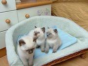 Wunderschöne Ragdoll Kätzchen verfügbar