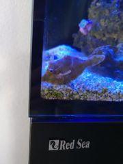 Acreichthys tomentosus Seegras- oder Tangfeilenfisch
