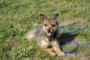Galia junge Chihuahua Terrier Mix