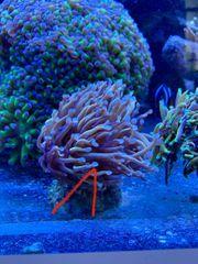 Meerwasser Aquarium KoralleEuphyllia Golden Torch