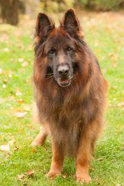 Jokers 9 Jahre - Schäferhund - Tierhilfe