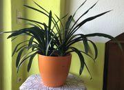 Zimmerpflanze - im Scheurich Übertopf