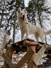 Deckrüde weißer Schäferhund