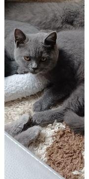Biete Kitten Rasse BKH BLH