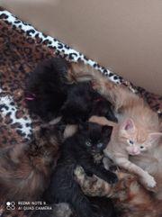 kitten zu verkaufen
