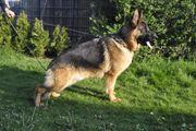 Deutsche Schäferhund Hündin