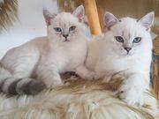 BKH - Scottish fold Kitten m