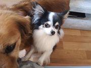 Chihuahua Deckrüde kein Verkauf