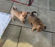 Süßer Chihuahua Rüde reserviert