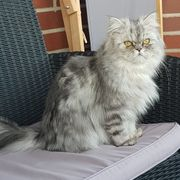 Perser DECKKATER Silver Shaded