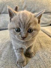 Britische kurzhaar Kitten BKH