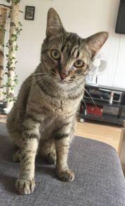 MANUEL - Kleiner Tiger sucht Kuschelplatz