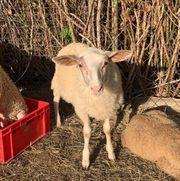 Schaf Lämmchen Gyros sucht ein