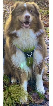 Australian Shepherd Deckrüde ASCA red