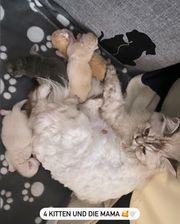 Kitten sind da 4 Perser