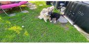 Chinesischer Schopfhund Powderpuff Chinese Crested