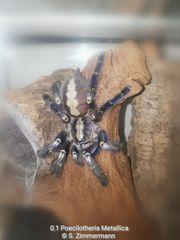 Biete diverse Vogelspinnen Wirbellose