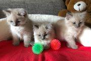 Wunderschöne Ragdoll Kitten mit Ahnentafel
