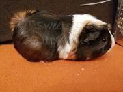 Vanroa Meerschweinchen weiblich