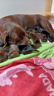 süße Labrador Welpen mit Stammbaum