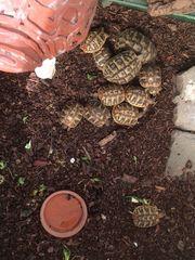 Griechische Landschildkröten THB NZ Hobbyzucht