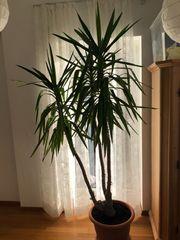 Yucca Palme 3-stämmig 2m gr