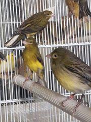 Kanarienvögel razza espanola
