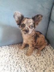 Merle Chihuahua Hündin mit blauen