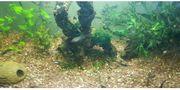 Guppis Fisch Wasserlinsen Pflanzen Schnecken