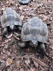 Maurische Landschildkröten Tgi Männchen