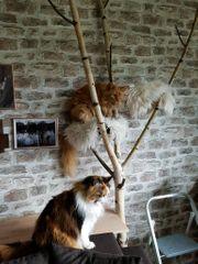 Birkenast Birkenstämme Katzenbaum Natur Kratzbaum