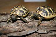 Landschildkröten Nachzuchten 2019 THB wunderschöne