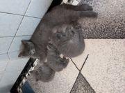 BKH kleine katzen