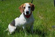KENZI Beagle kastriert SGB 495