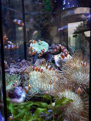 Clownfisch Amphiprion ocellaris Nachzucht Meerwasser