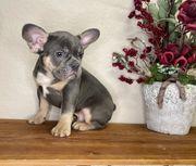 Französische Bulldogge Welpen sonderfarbe