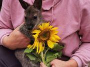 Bennett Känguru Wallaby Mädchen