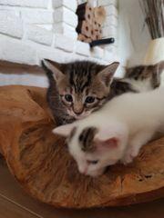 Wunderschöne Kitten zu verkaufen